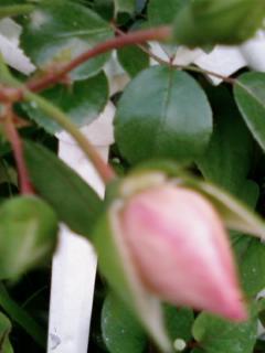 rose%20bud.jpg