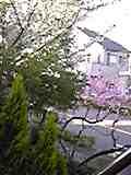 sakura2012.jpg